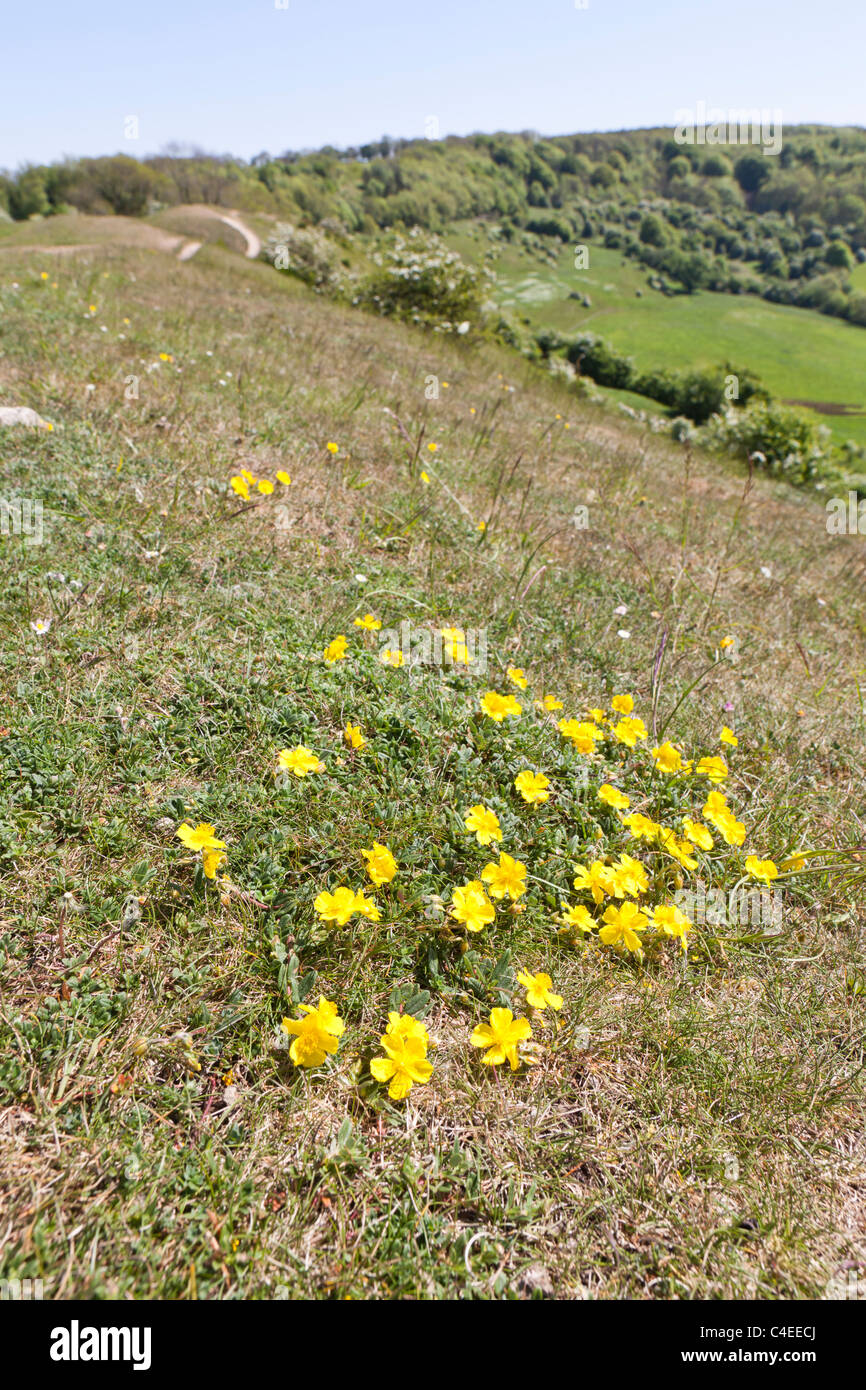 Rock Rose flowering on the limestone grassland  beside the Cotswold Way National Trail on Haresfield Hill, Gloucestershire - Stock Image