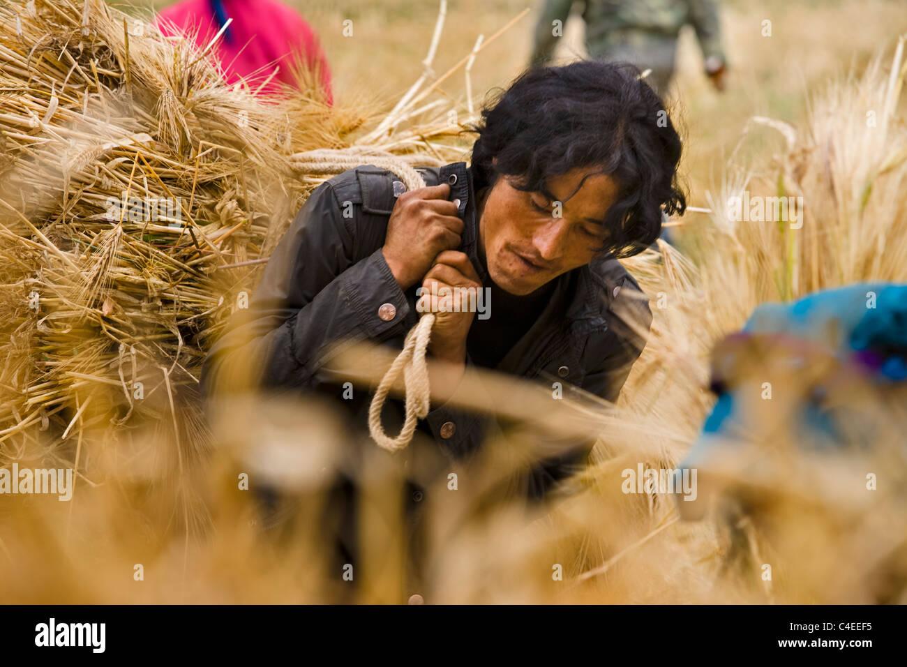 Carrying bales of cut barley harvest in Wu Ya village, eastern Tibet. China - Stock Image
