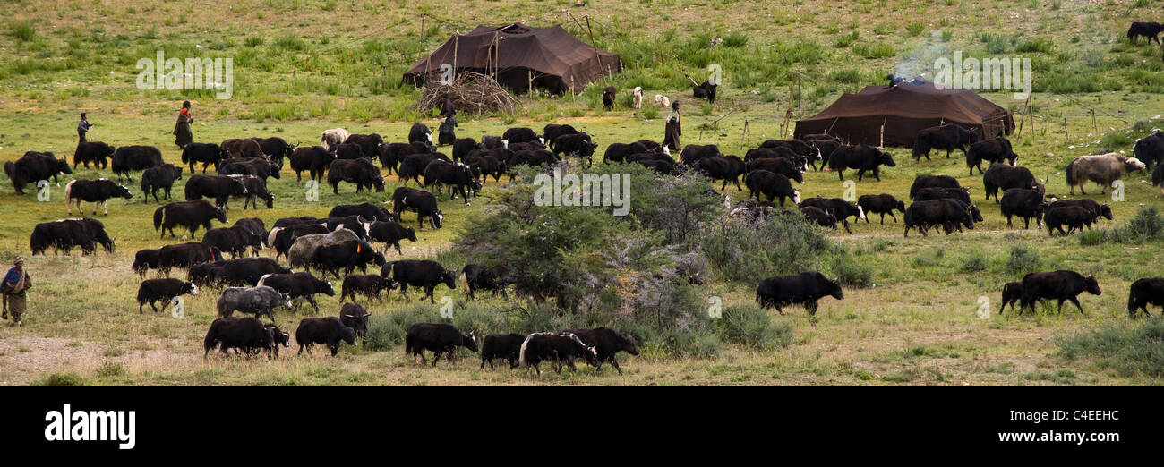 Yak herd and nomad encampment, Mei Yu (Beautiful Jade) Grassland, between Bangda and Dzogong, Tibet. - Stock Image