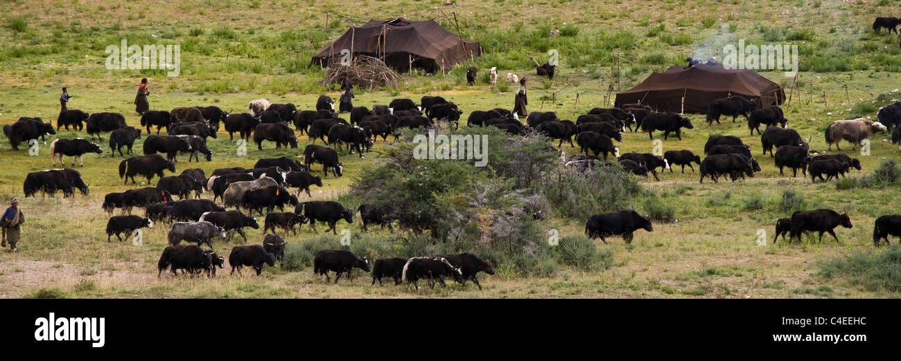 Yak herd and nomad encampment, Mei Yu (Beautiful Jade) Grassland, between Bangda and Dzogong, Tibet. - Stock Image