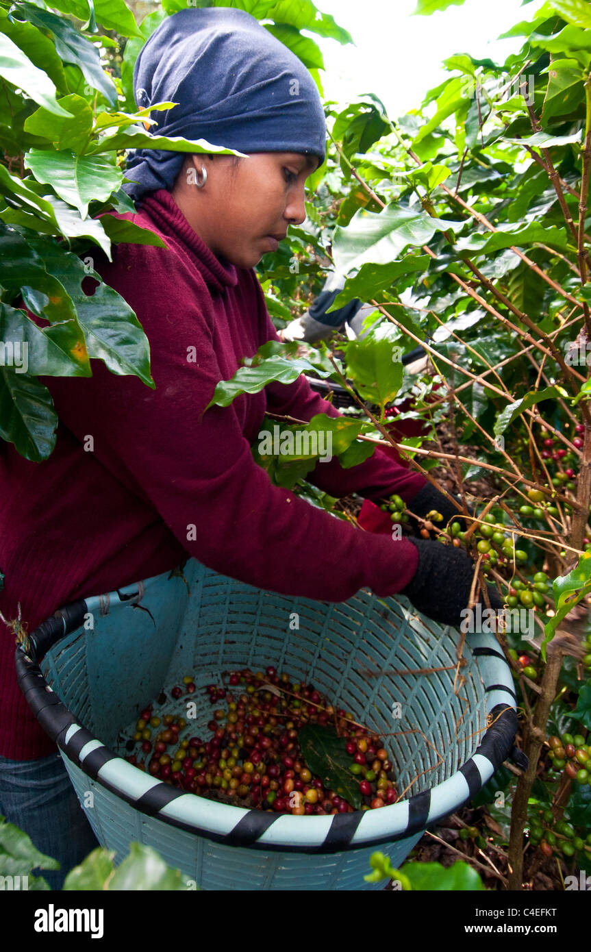 Female worker Costa Rica , central valley Rode hills Coffee plantation - Stock Image