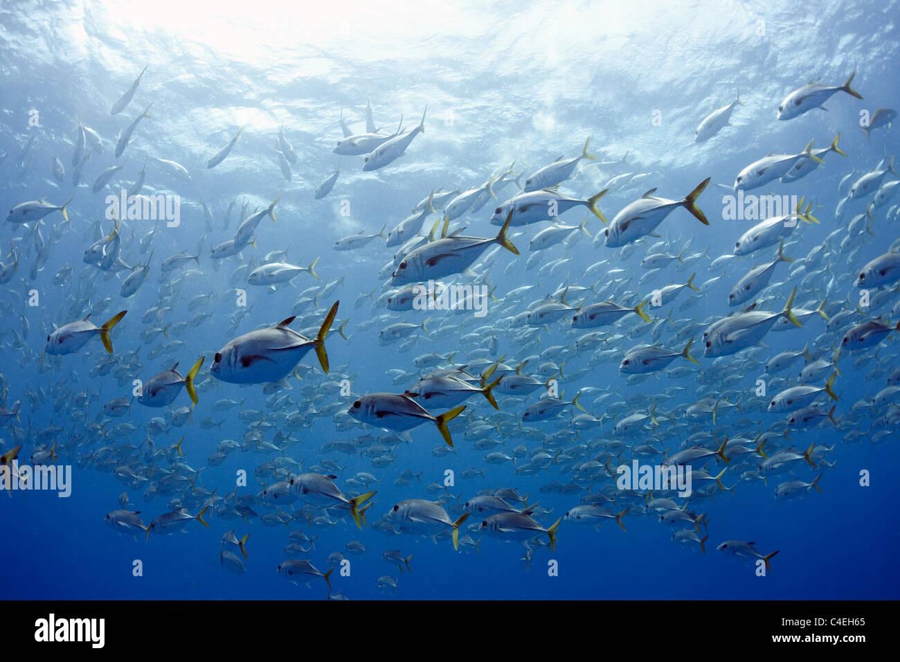 A large school of horse eye jacks (Caranx latus) swims near the surface of the ocean at Jardines de la Reina off - Stock Image