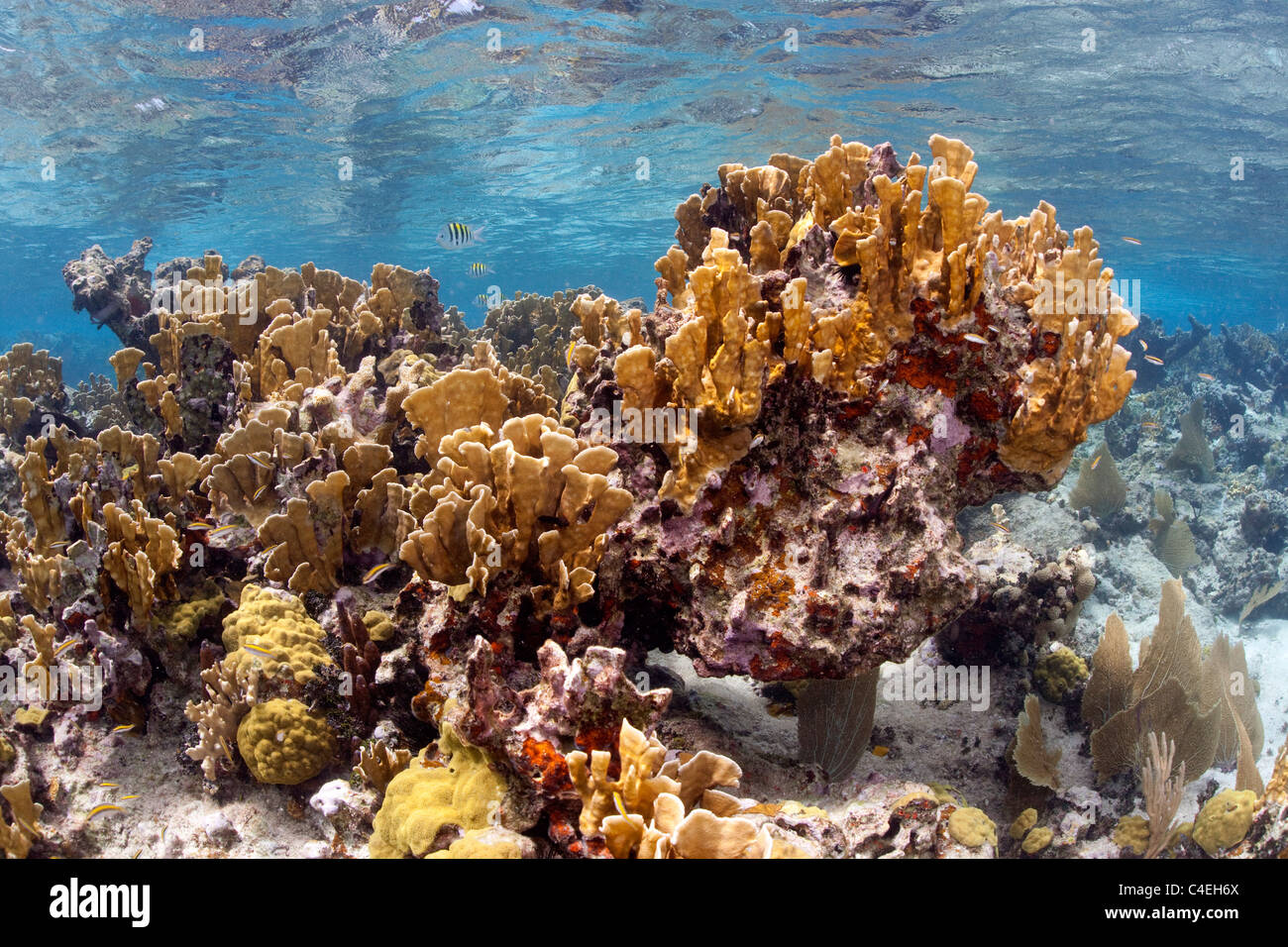 A large stand of Fire Coral at Jardines de la Reina off the coast of Cuba. - Stock Image