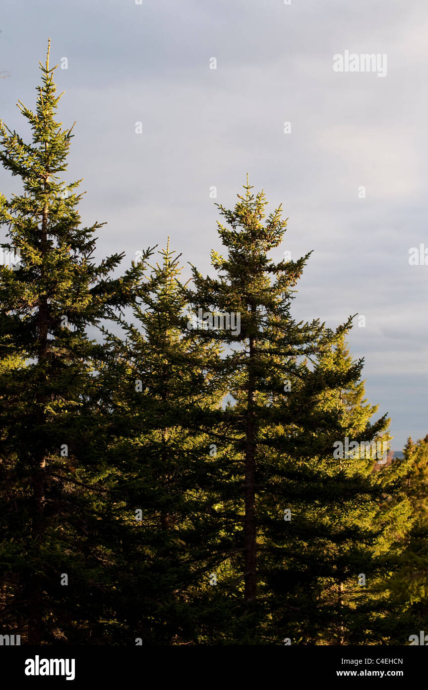 Pine trees in afternoon sunshine on Mount Desert Island in Maine, USA. - Stock Image