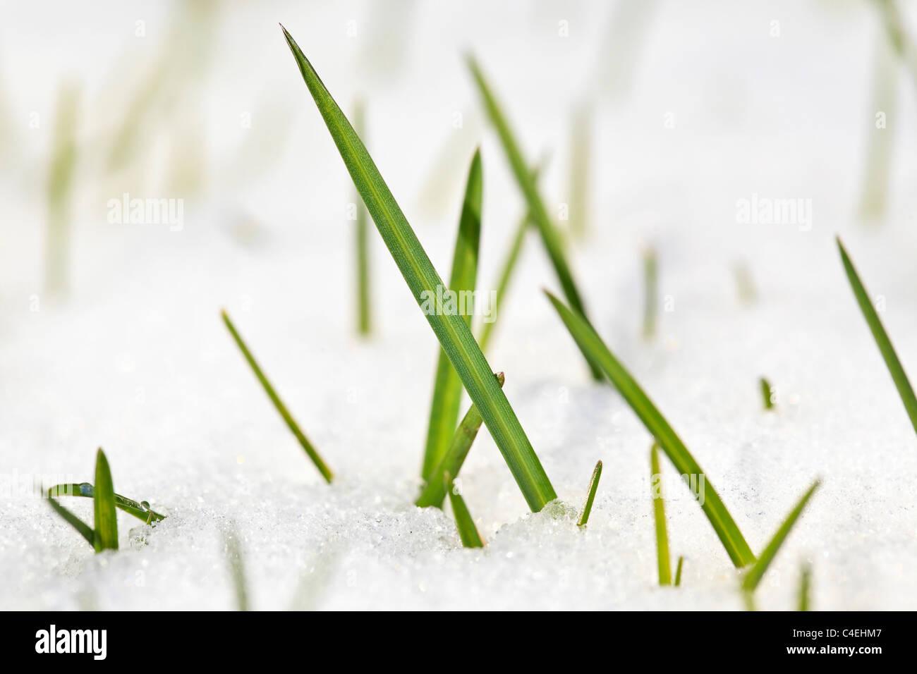 Blades of grass in snow, close up. Winnipeg, Manitoba, Canada. - Stock Image