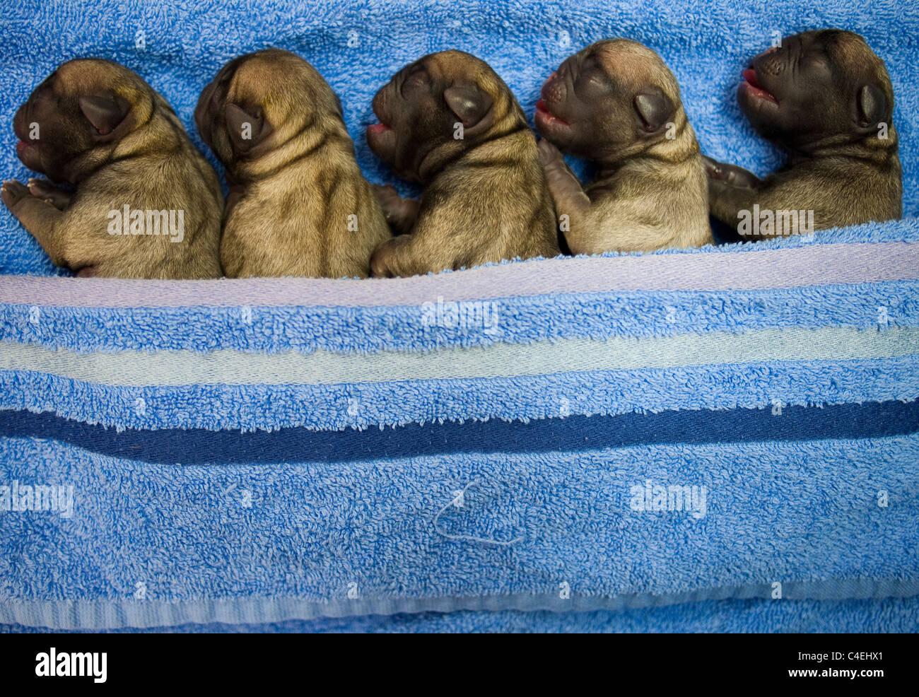 Five Newborn Pug Puppies In A Row Stock Photo Alamy