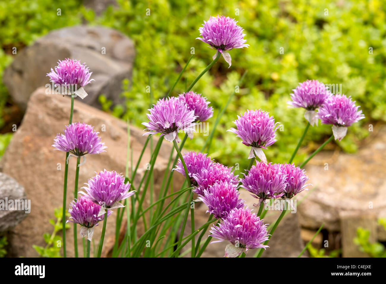 Garlic Chives Flowers Blooming in Herb Garden - Stock Image