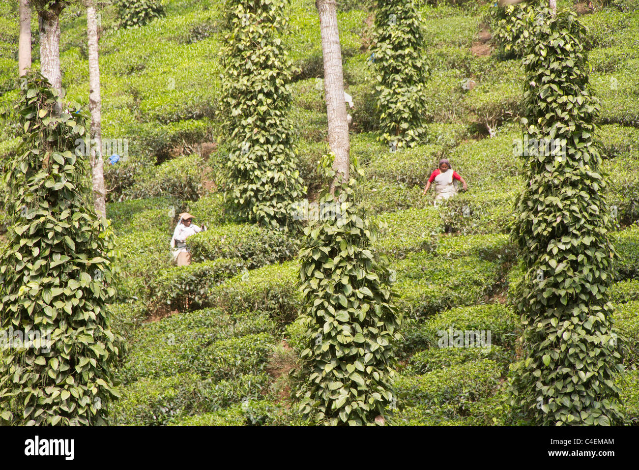 Workers pick tea leaves from Tea Bushs shaded by Silver Oak Trees on which Pepper vines grow - Stock Image