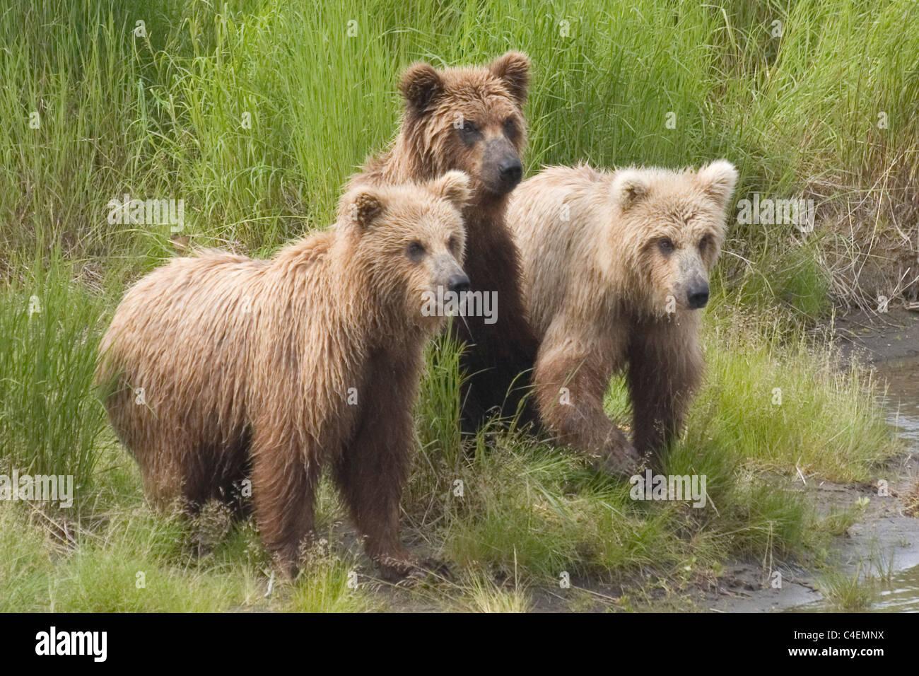 Brown (Grizzly) Bear rwo year old cubs.(Ursus arctos horribilis).Katmai National Park, Alaska - Stock Image