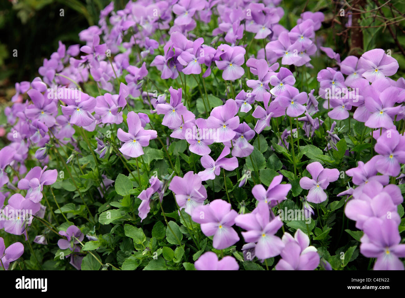 Viola 'Eastgrove Blue Scented' - Stock Image