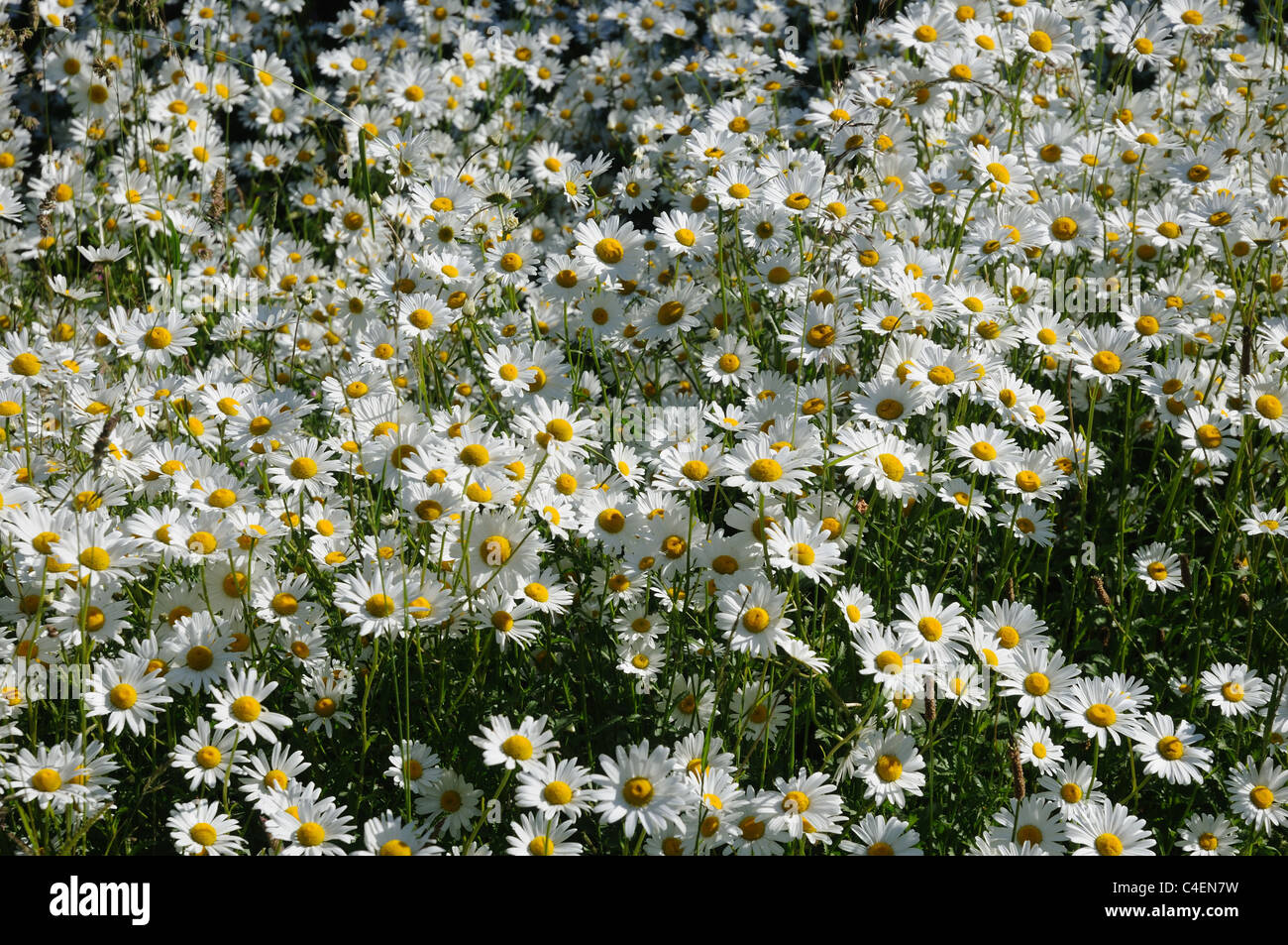 Oxeye daisies growing in a meadow Stock Photo