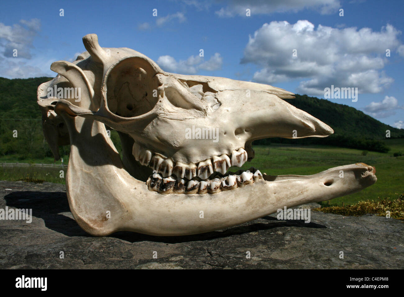 'Hummel' Red Deer Stag Skull –a condition where stags fail to develop pedicles on the skull and thus are unable - Stock Image