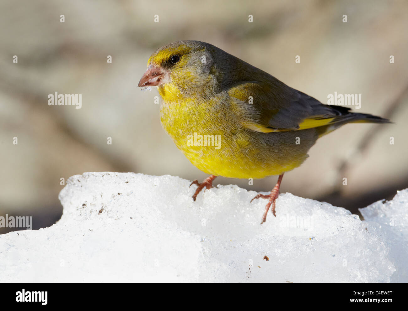 Greenfinch (Carduelis chloris) standing on snow. Finland. - Stock Image