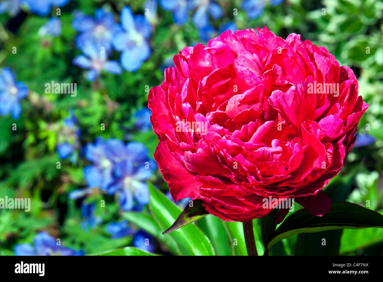 Paeony - Full on colour - Stock Image