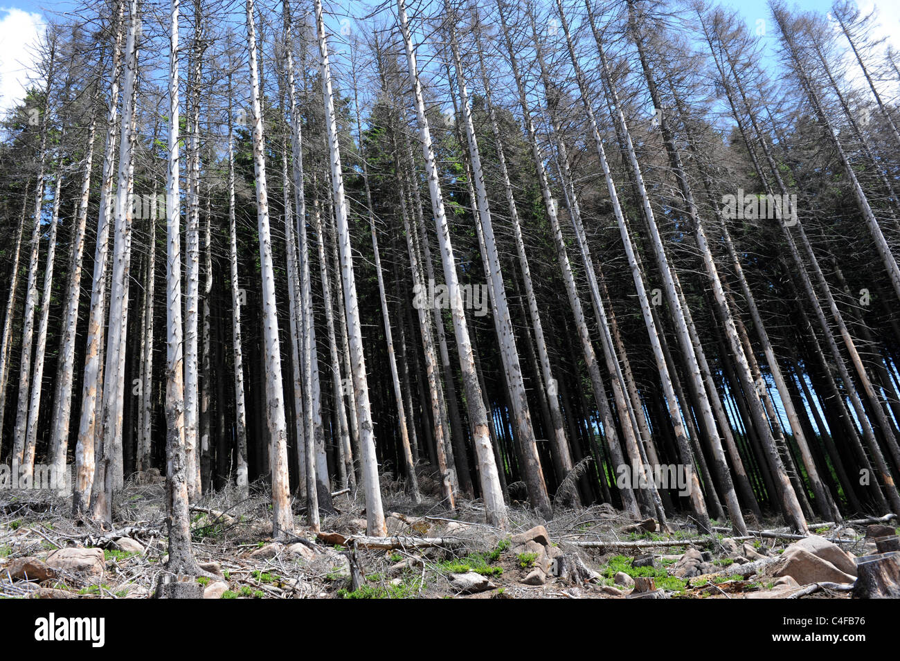 Spruce trees killed by bark beetle in Harz National Park Germany - Stock Image