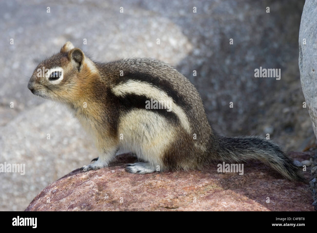 Golden-Mantled Ground squirrel.(Spermophius lateralis).Jasper National Park, Canada.. - Stock Image