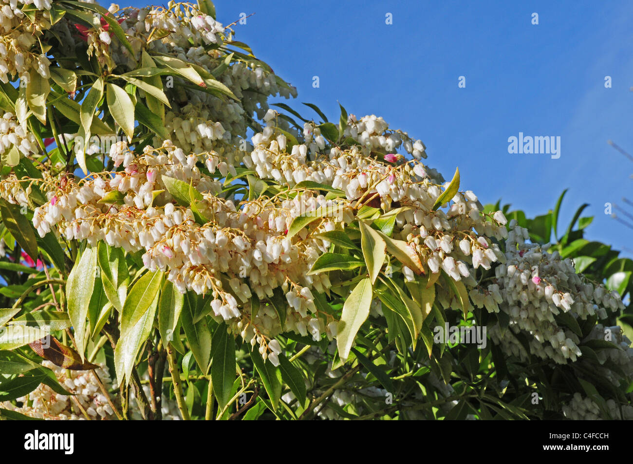 Flowers of Pieris formosa forrestii. Pale leaves showing lack of minerals. - Stock Image