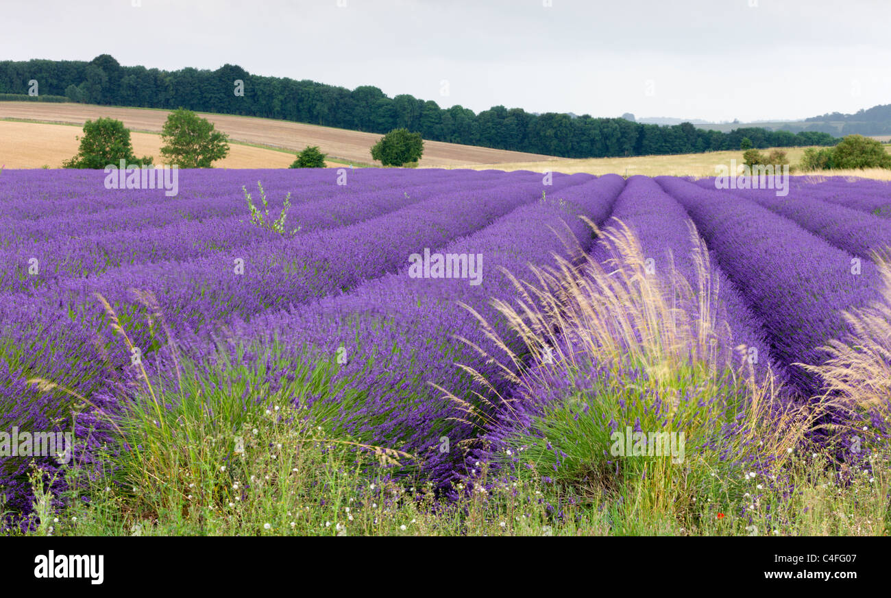 Lavender field the Cotswolds in full flower, Snowshill, Gloucestershire, England. Summer (July) 2010. Stock Photo