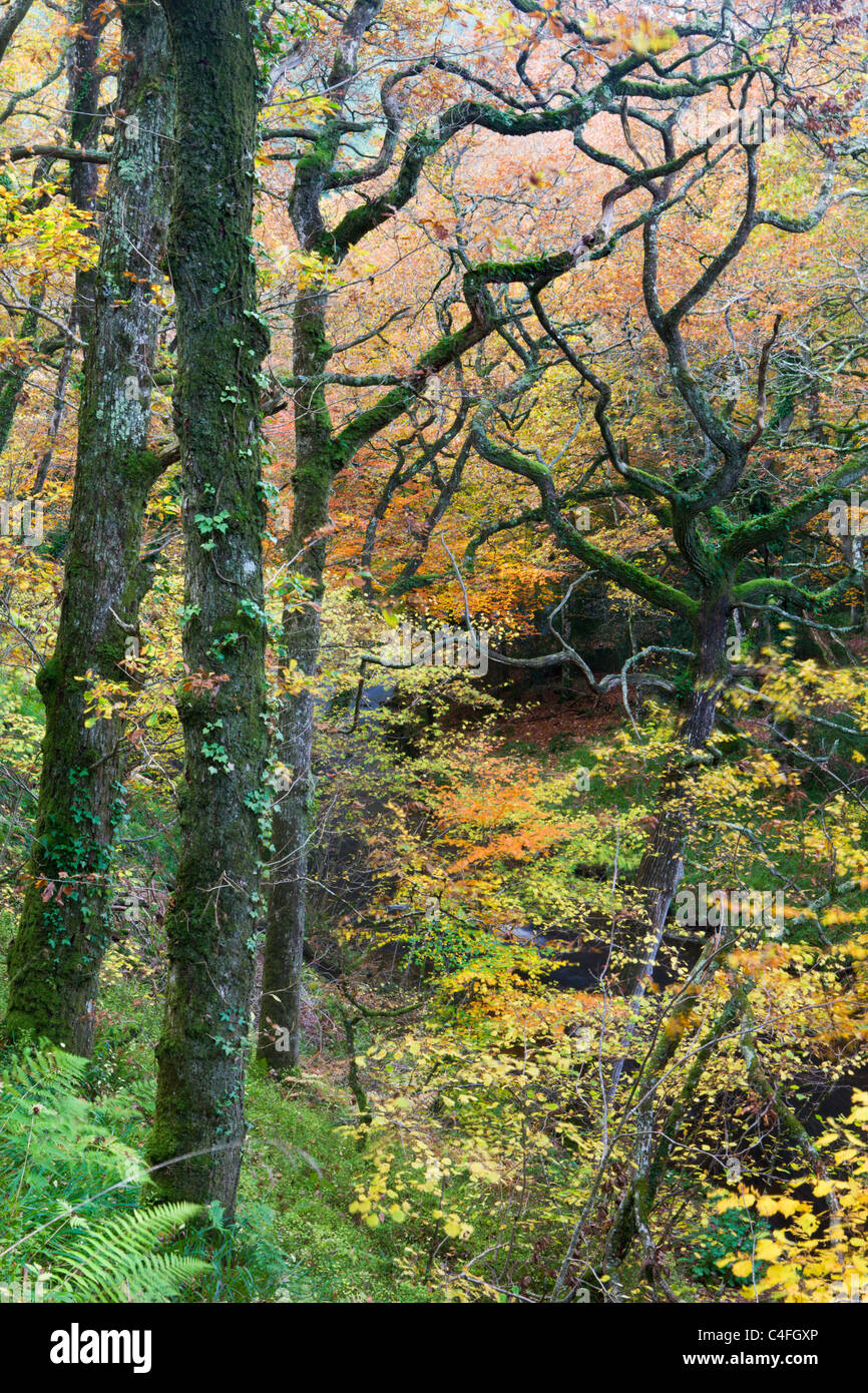 Deciduous woodland in full autumnal display, Hannicombe Wood, Dartmoor National Park, Devon, England. Autumn (November) - Stock Image