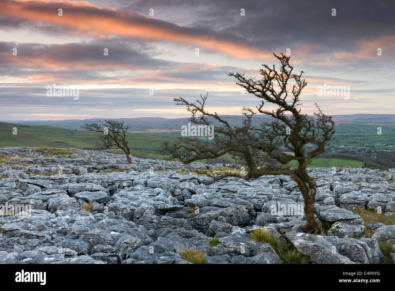 Twisted hawthorn trees growing through the Limestone Pavement on Twistleton Scar, Yorkshire Dales National Park - Stock Image