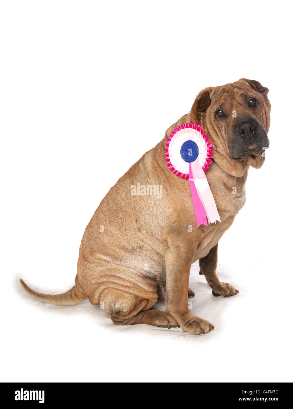 Shar pei dog with second place rosette - Stock Image