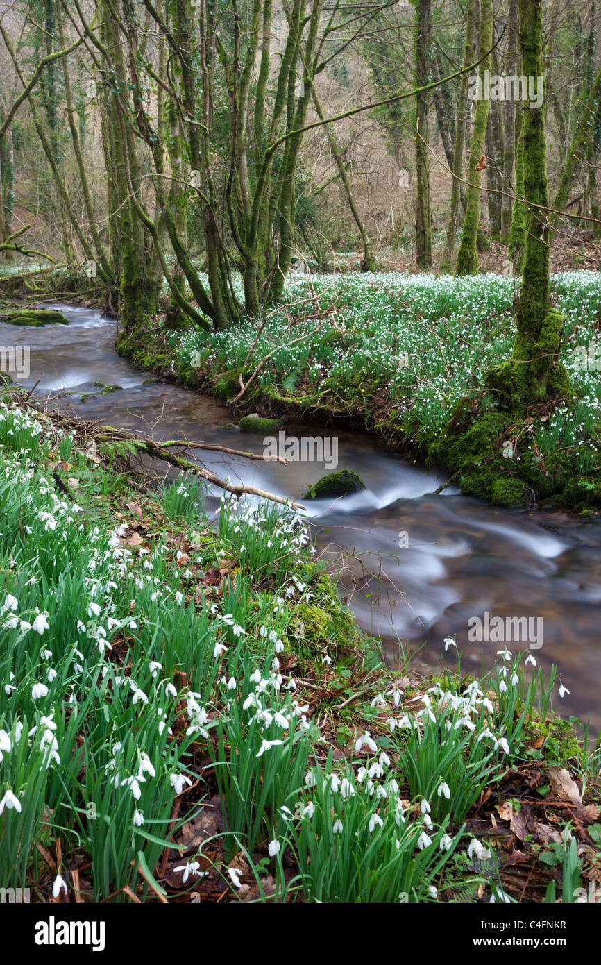 Snowdrops (Galanthus) flowering beside the River Avill in North Hawkwell Wood, otherwise known as Snowdrop Valley, - Stock Image