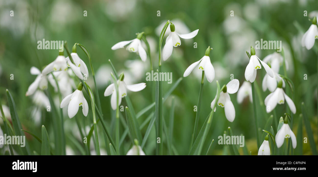 Snowdrops (Galanthus) flowering in North Hawkwell Wood, otherwise known as Snowdrop Valley, Exmoor National Park, - Stock Image