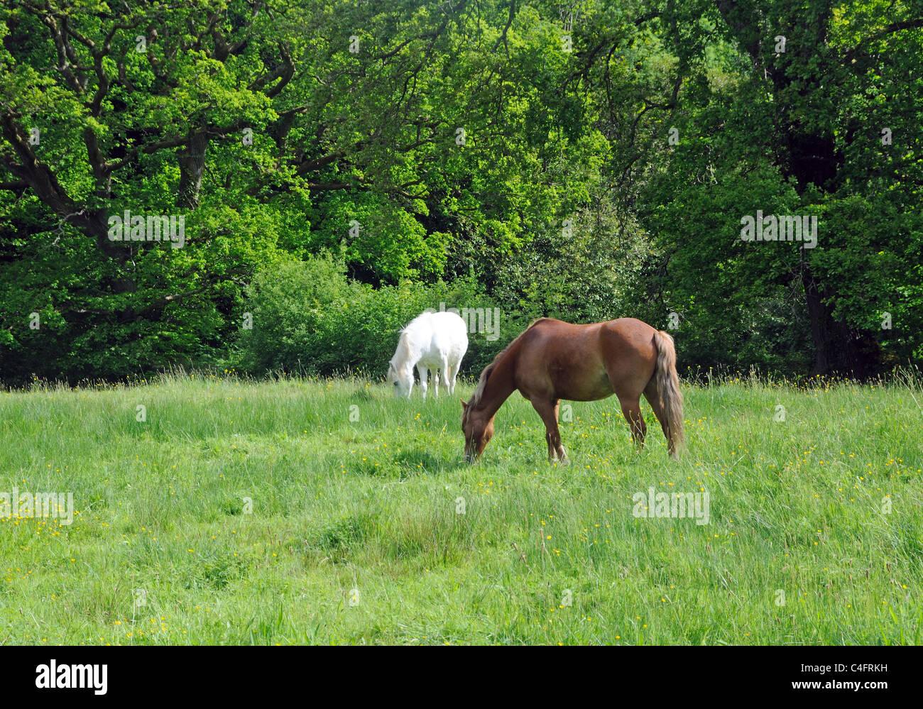 Horses grazing in Llandygwydd, Cardiganshire, Wales - Stock Image