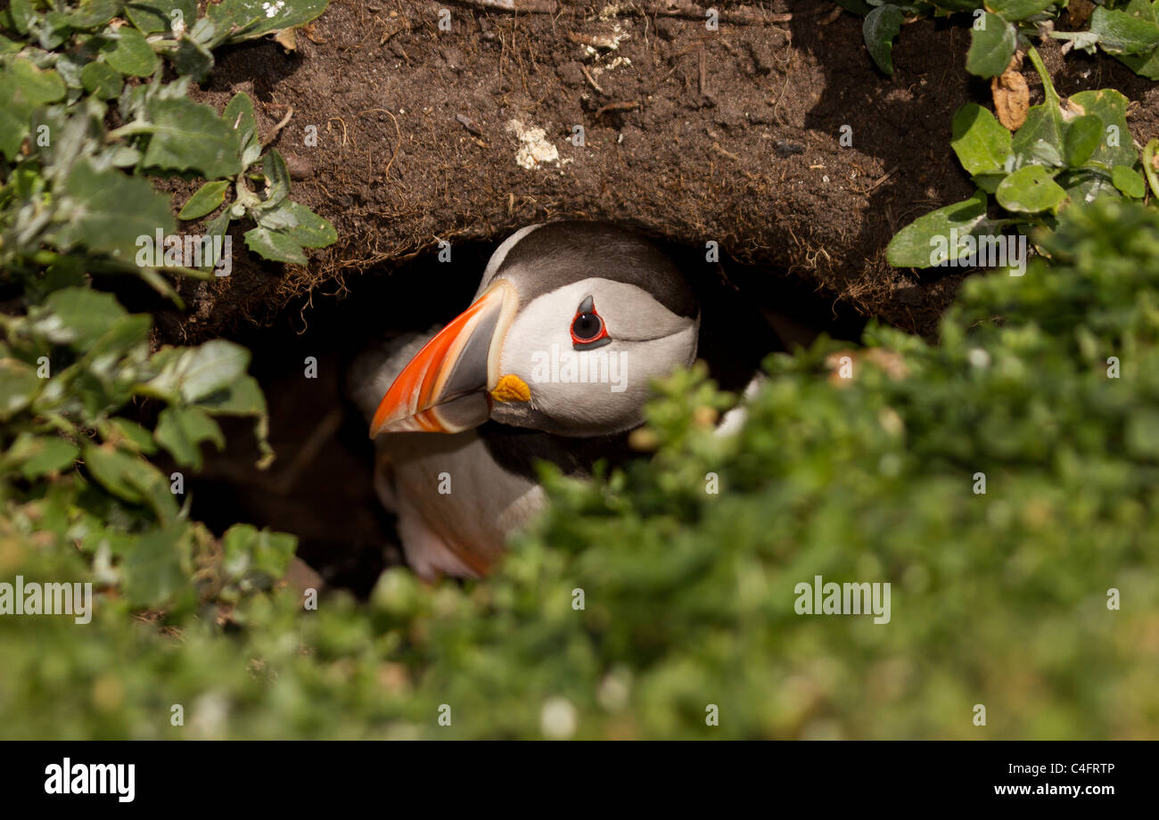 Puffin, Fratercula arctica coming out of it's burrow on the Farne Islands - Stock Image