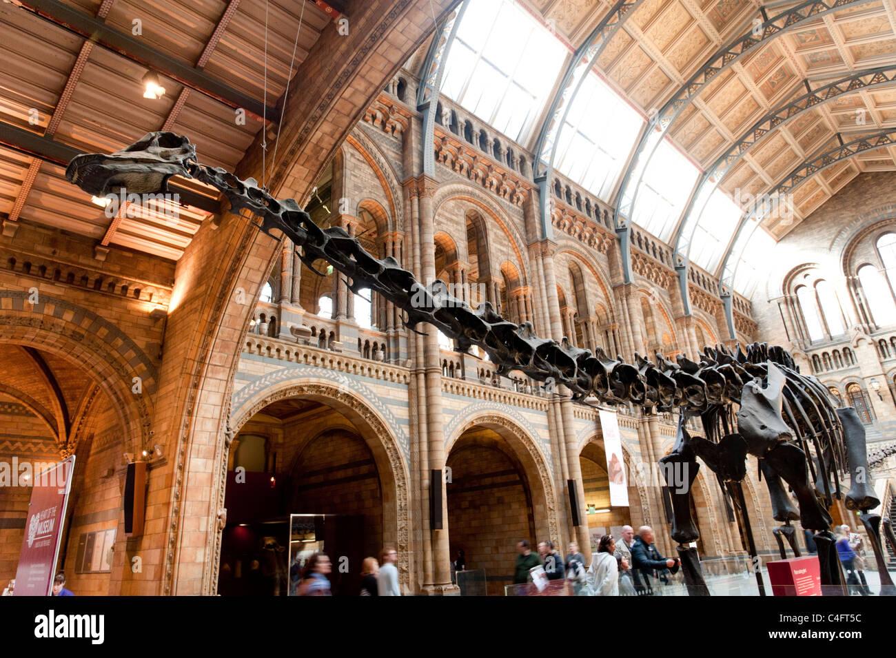 Diplodocus dinosaur at the Natural History Museum, London, UK - Stock Image