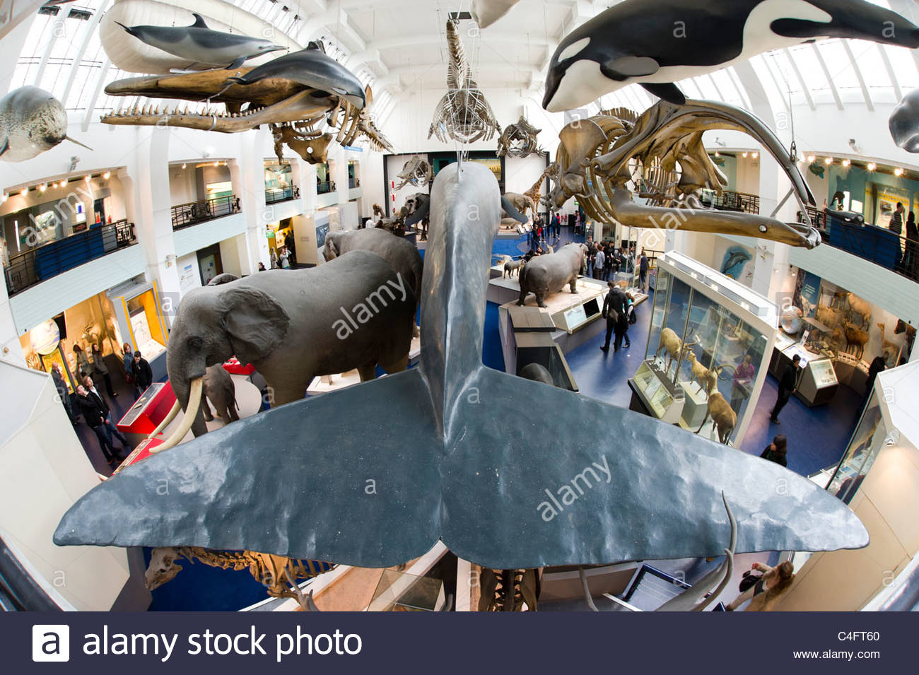 Tail fin of a life-size model of a blue whale in the Natural History Museum, London, UK - Stock Image