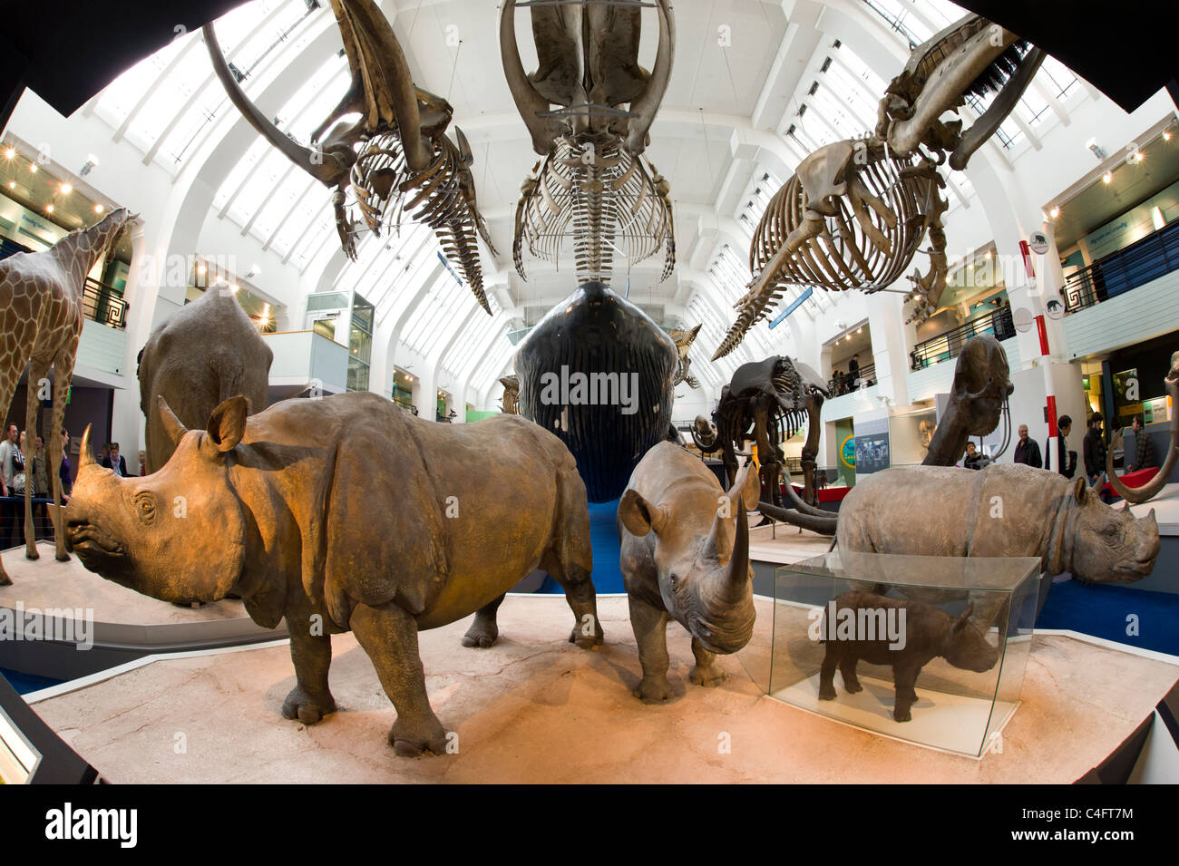 Life-size models of mammals in the Natural History Museum, London, UK - Stock Image