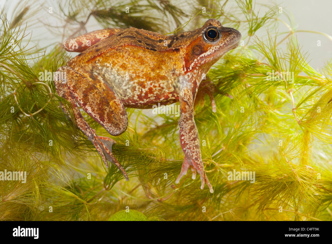 A Common Frog ( Rana temporaria ) swimming in an aquarium in the Uk - Stock Image