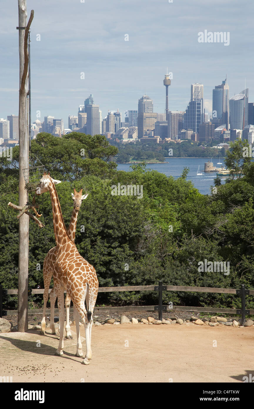 Giraffes at Taronga Zoo with the CBD in the background, Sydney, New South Wales, Australia - Stock Image