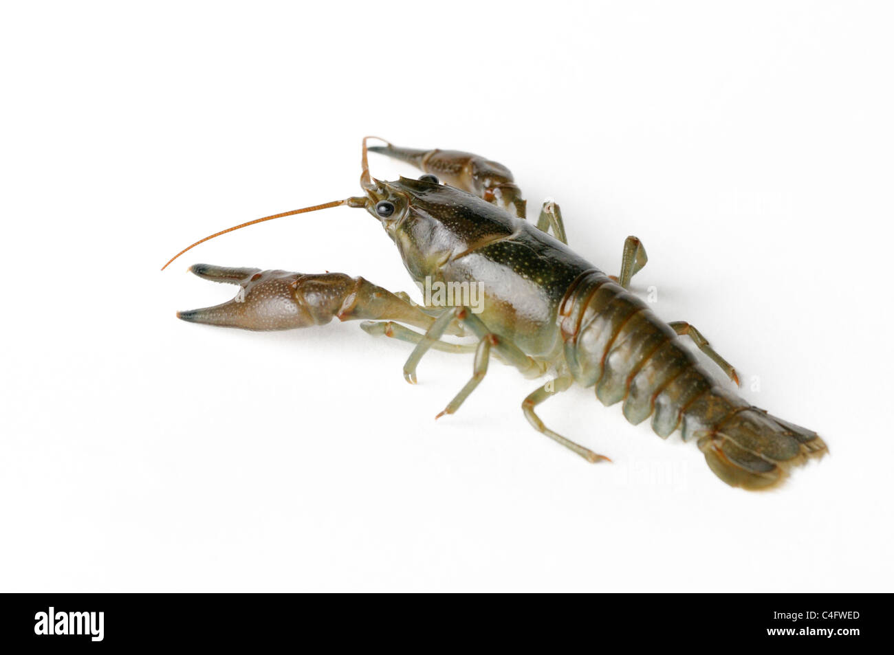 Cambarid crayfish - Stock Image