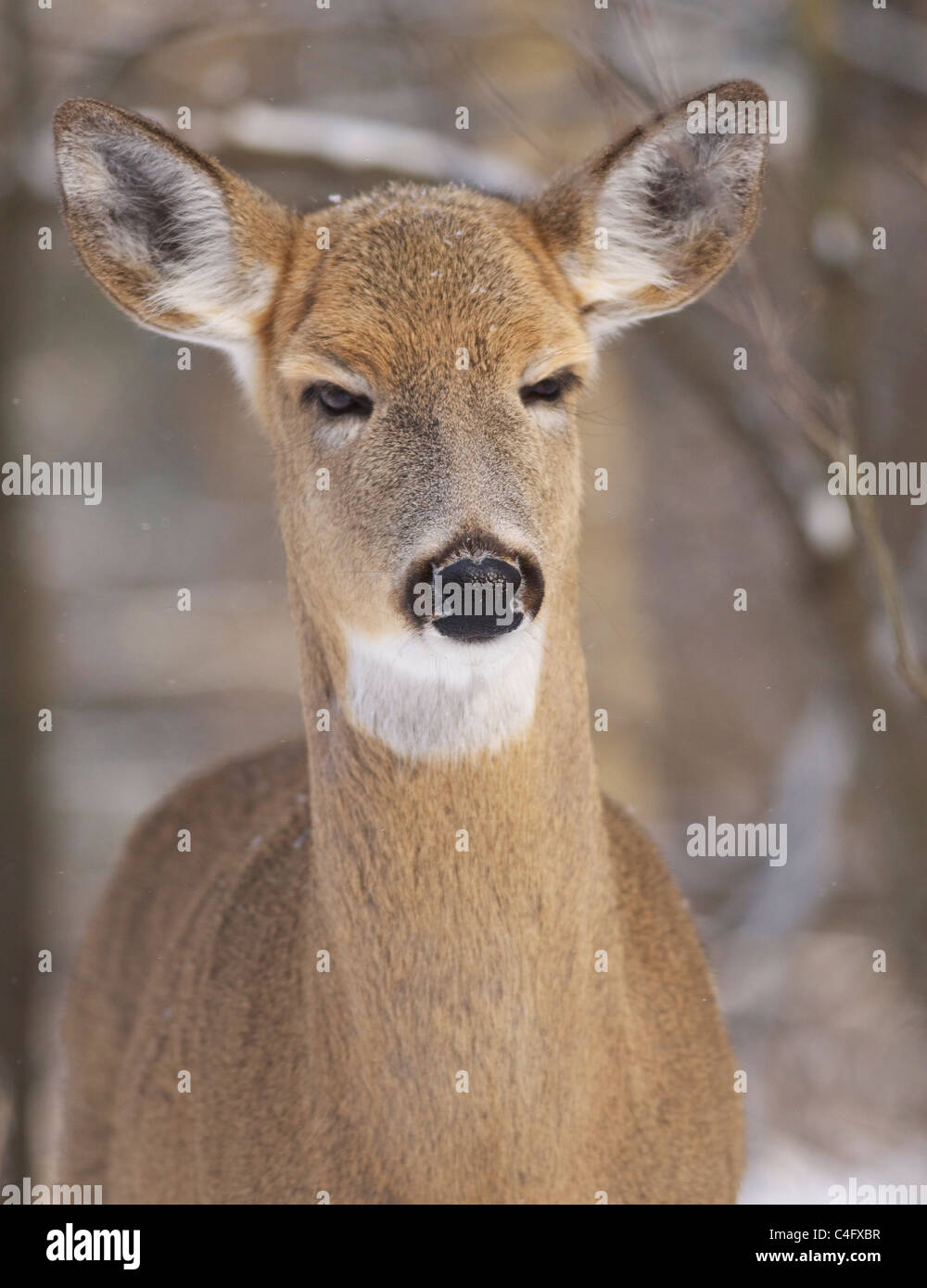 whitetail deer in wintertime scowling at viewer - Stock Image