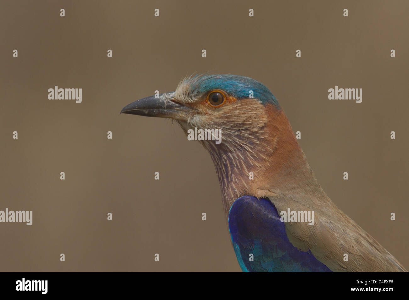 Indian Roller (Coracias benghalensis), also known as Blue Jay, portrait from Kanha National Park, Madhya Pradesh, - Stock Image