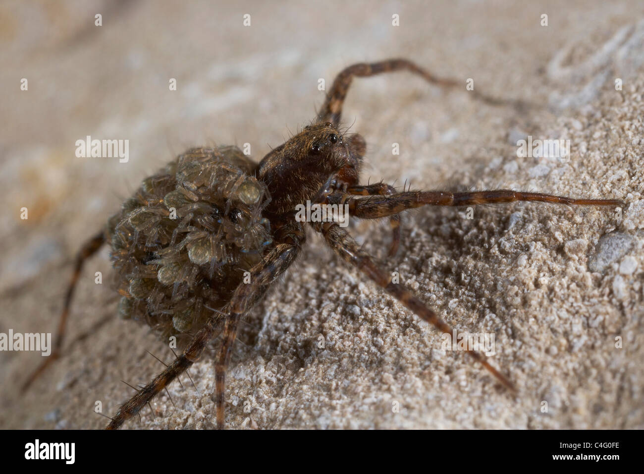 Female Wolf spider, Pardosa amentata carrying her newly hatched young on her back, Nichols Moss, Cumbria, UK - Stock Image