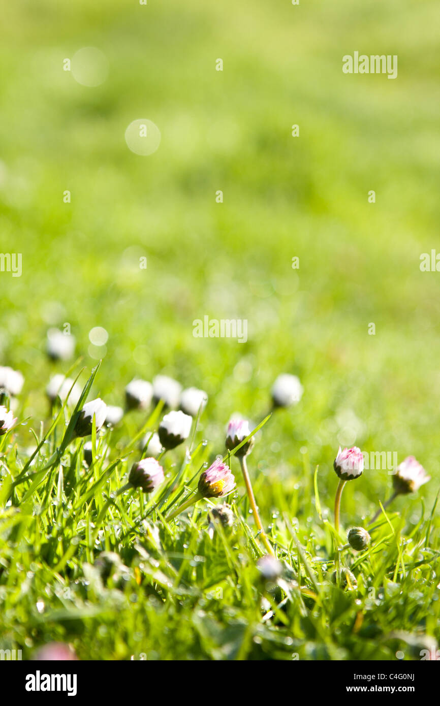 fresh grass with dew drops - Stock Image