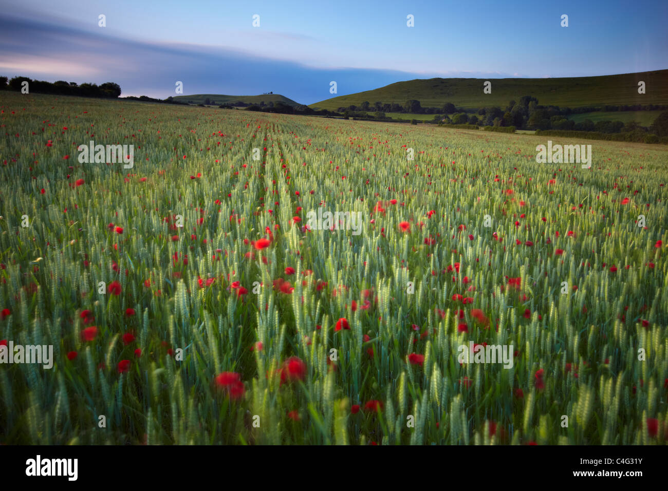 poppies blowing in the breeze on a summer's evening, Corton Denham, Somerset, England, UK - Stock Image