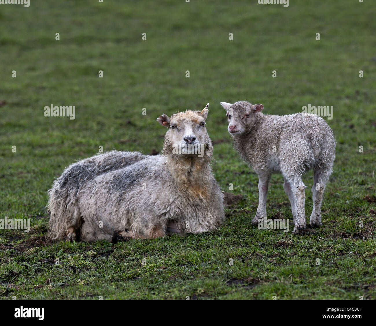 Ewe and lamb dirty from ash fall, Grimsvotn volcanic eruption, Iceland - Stock Image