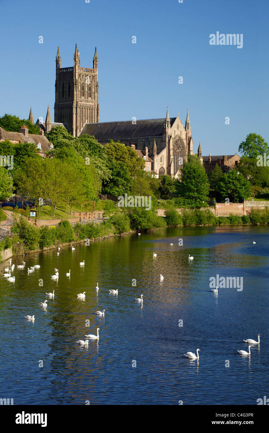 Mute swans near Worcester Cathedral in evening summer sunshine, River Severn, Worcestershire, England, UK  GB British - Stock Image