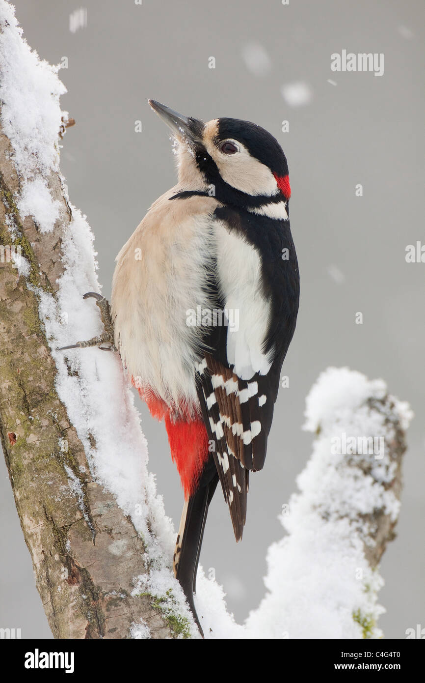 Great Spotted Woodpecker - male at branch / Dendrocopos major - Stock Image