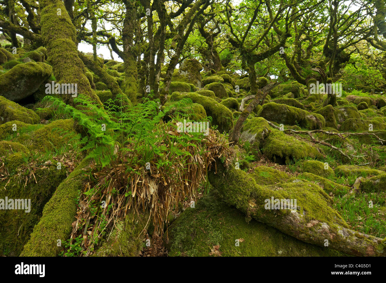 Sessile oaks and moss in Wistman's Wood Dartmoor Devon England UK GB British Isles - Stock Image