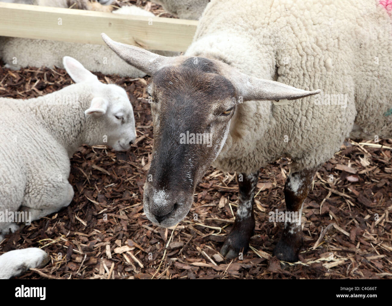 Ewe and lamb in livestock display, Bloom garden festival, Dublin - Stock Image