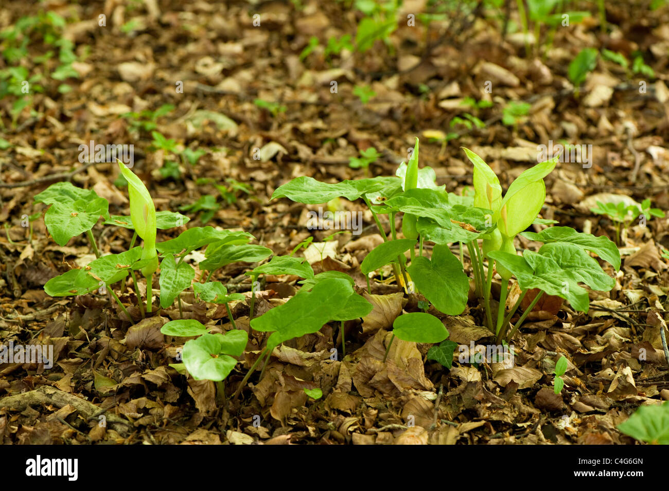 Italian Lords and Ladies, Arum italicum - Stock Image