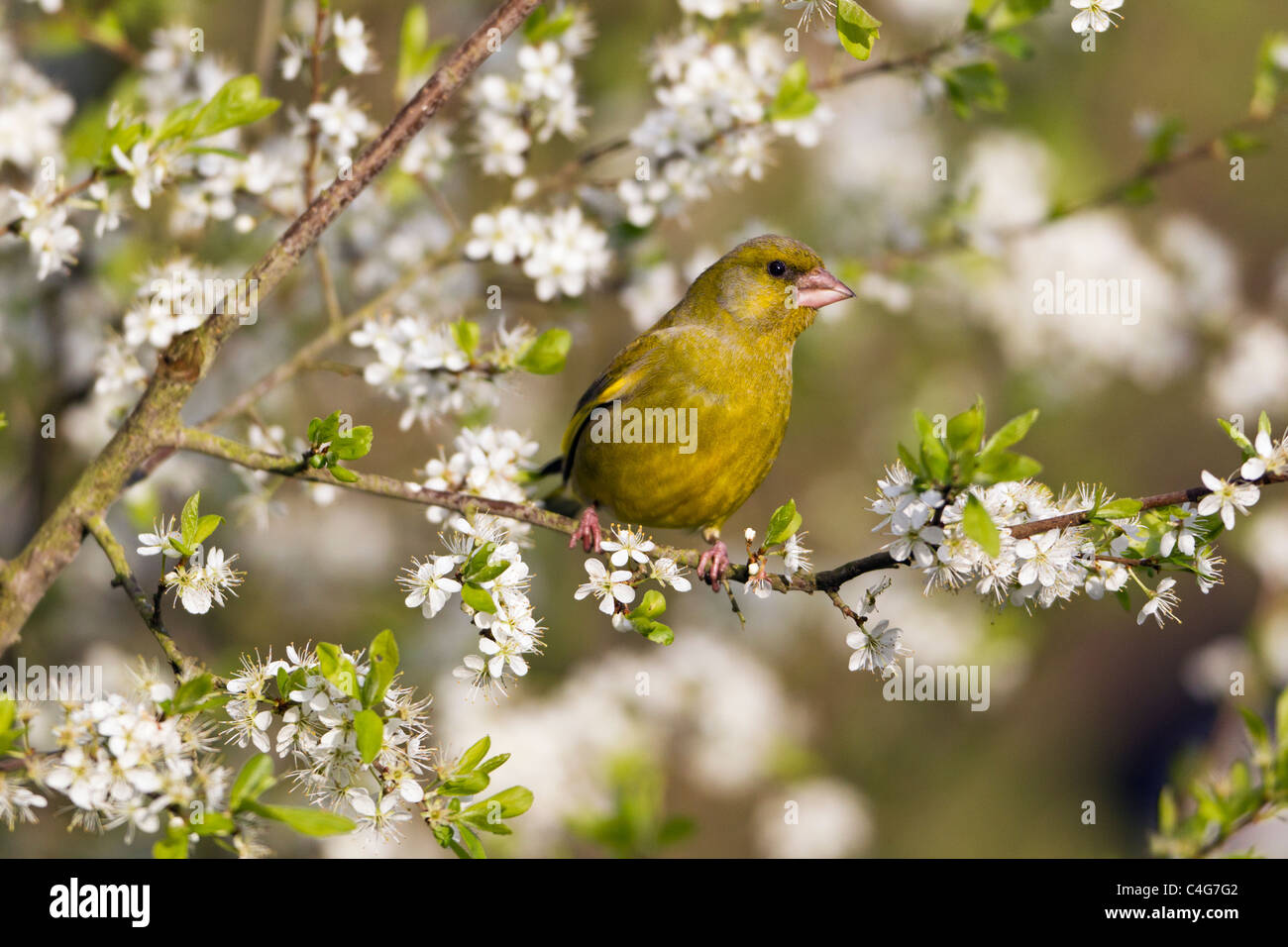 Greenfinch (Carduelis chloris), perched on blackthorn branch, Lower Saxony, Germany Stock Photo