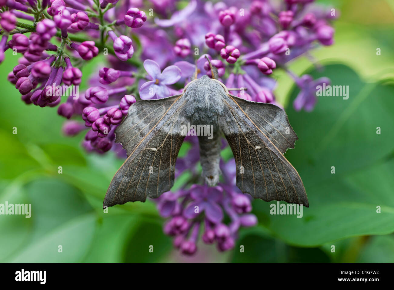Poplar Hawkmoth (Laothoe populi), resting on lilac flowers in garden, Lower Saxony, Germany Stock Photo