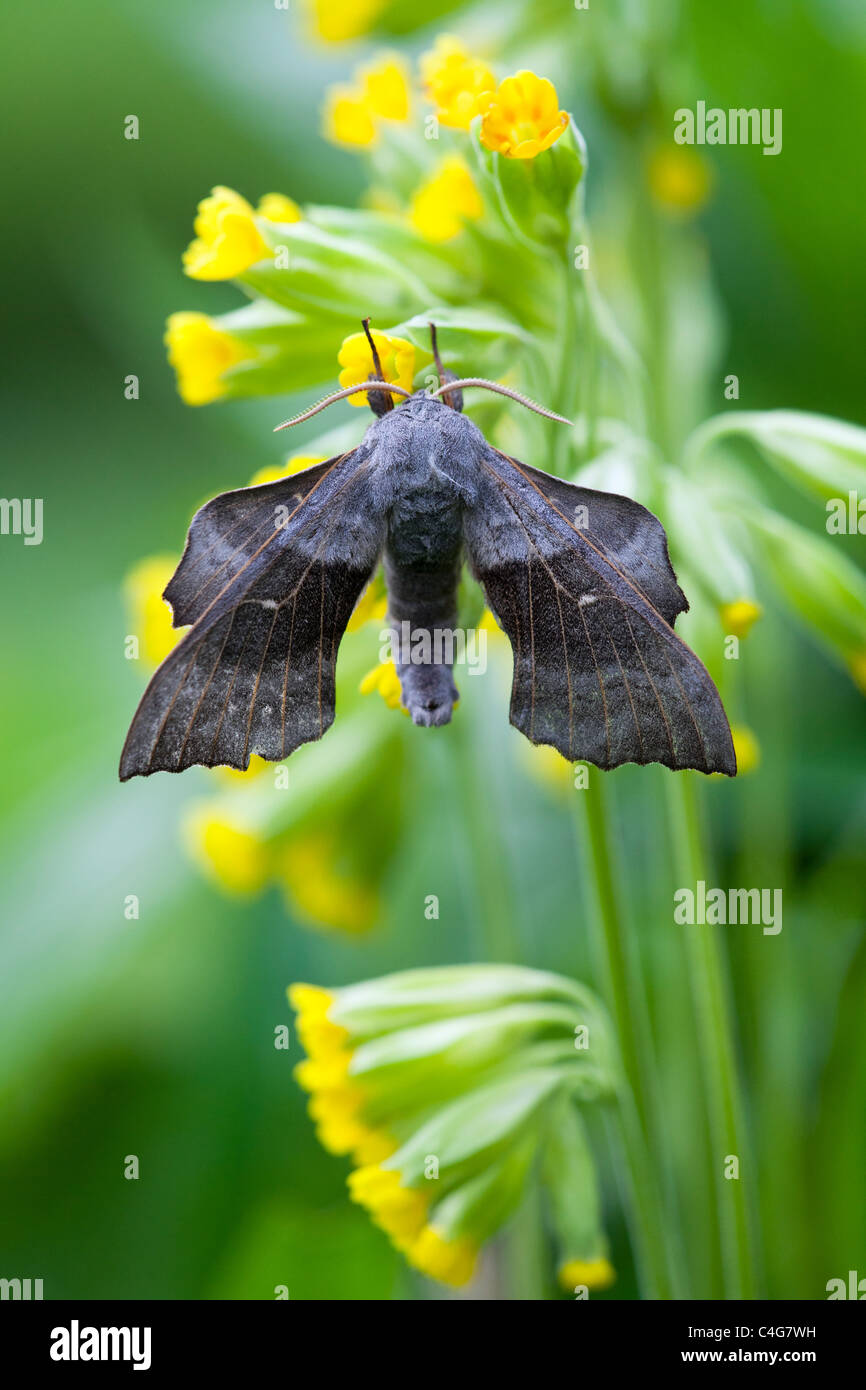 Poplar Hawkmoth (Laothoe populi), resting on flower in garden, Lower Saxony, Germany Stock Photo