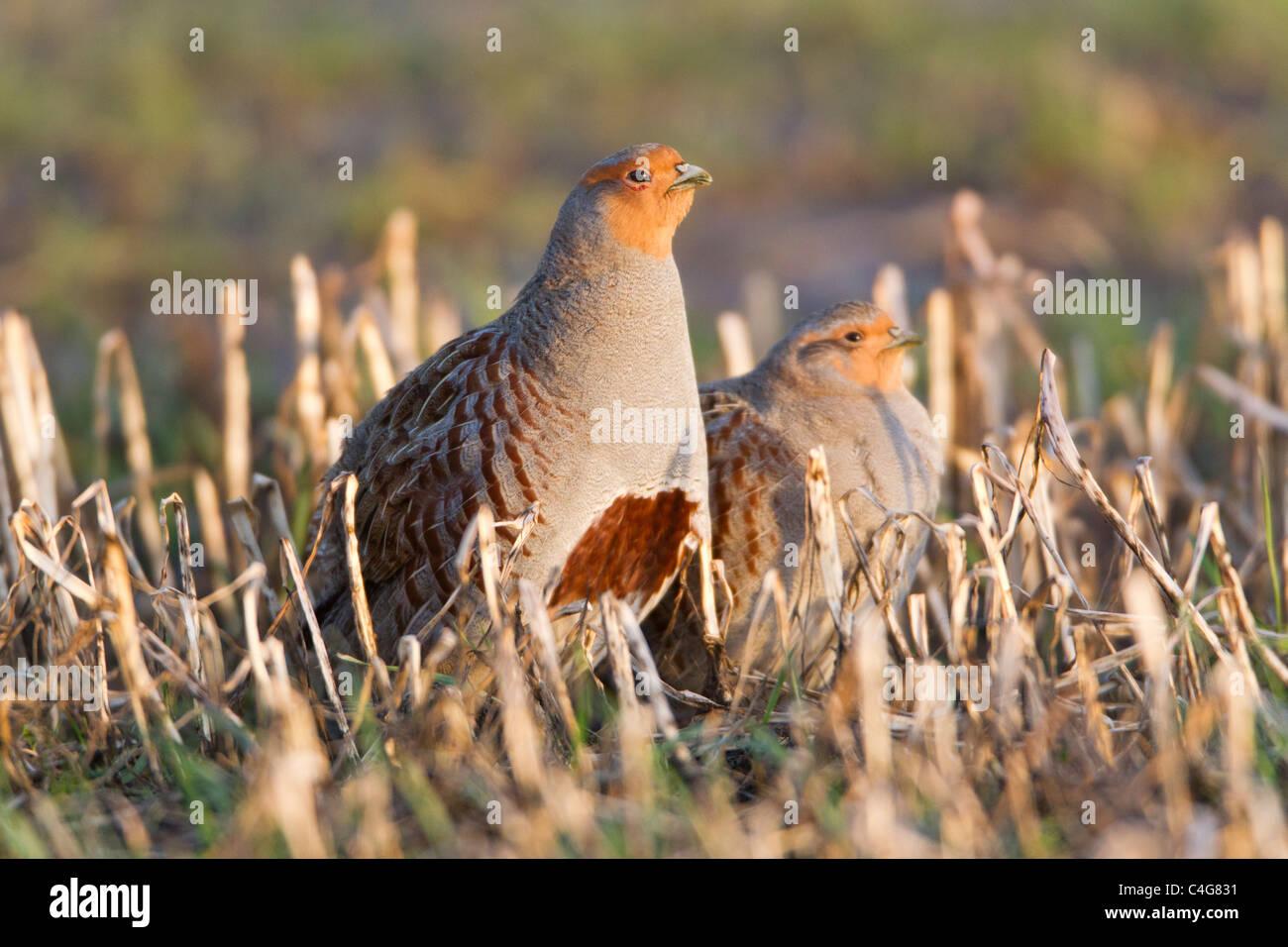 Grey Partridge (Perdix perdix), pair on field of stubble, Lower Saxony, Germany - Stock Image